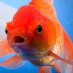 Menselijke aandachtsspanne 1 seconde korter dan die van een goudvis