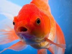 A atención humana estende a 1 segundo máis curto que o dun peixe dourado